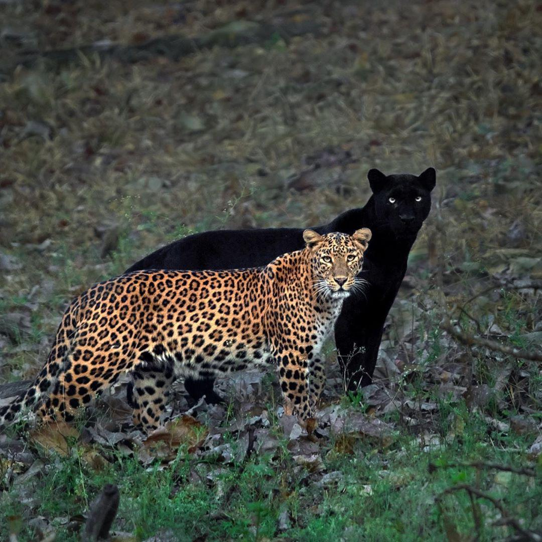 Black Panther standing behind Spotted Leopard looks like a shadow