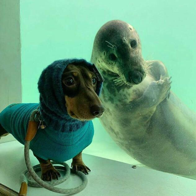 This dog in a goodie and a seal crossing its arms
