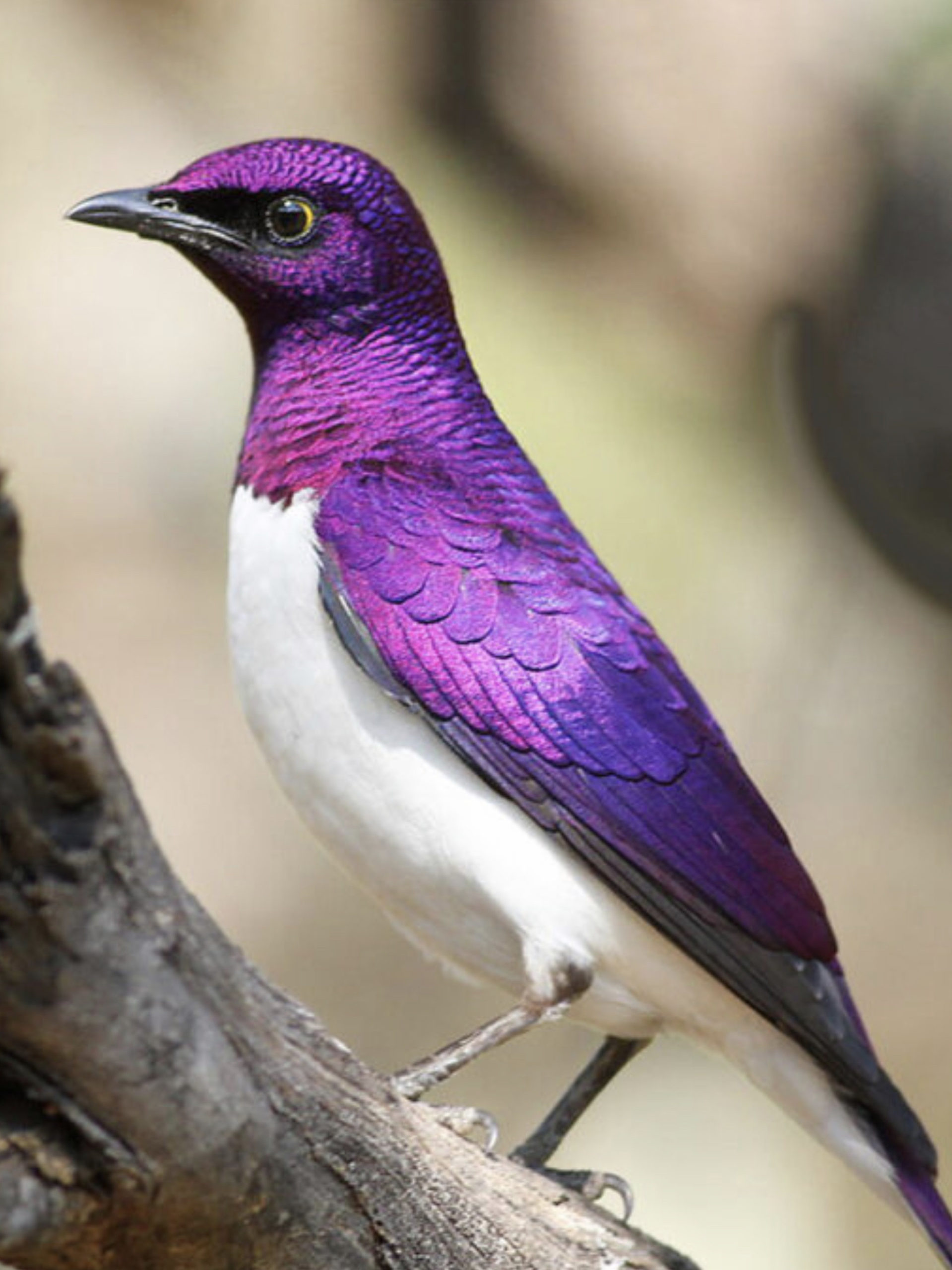 African Amethyst Starling
