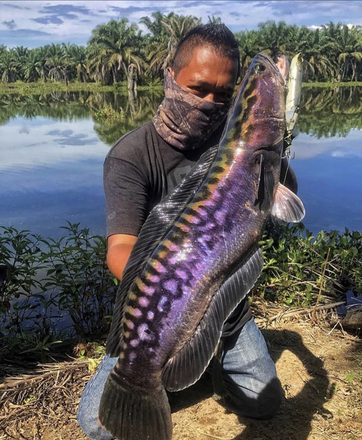 The colors on this snakehead fish