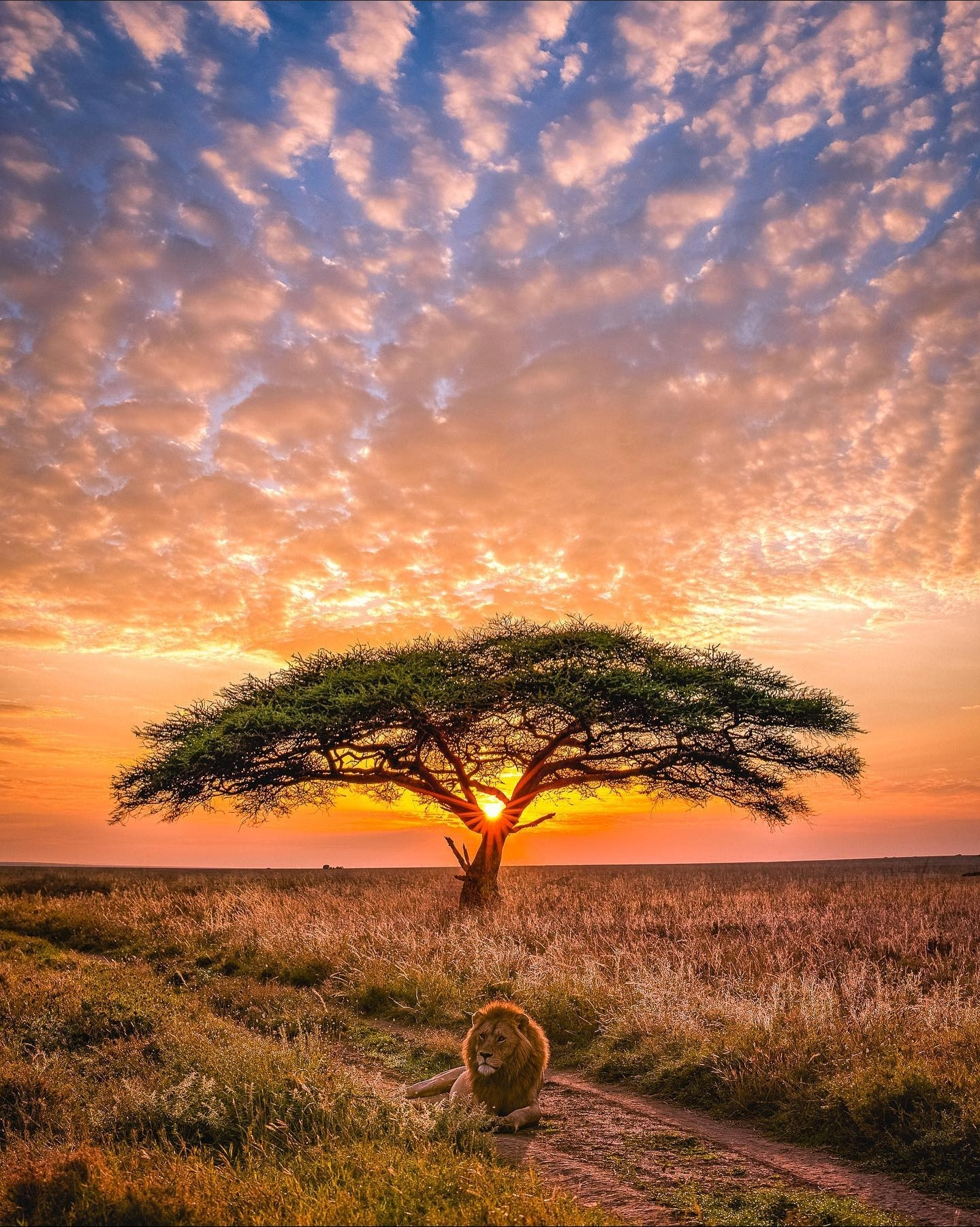The real Lion King in Serengeti National Park, Tanzania