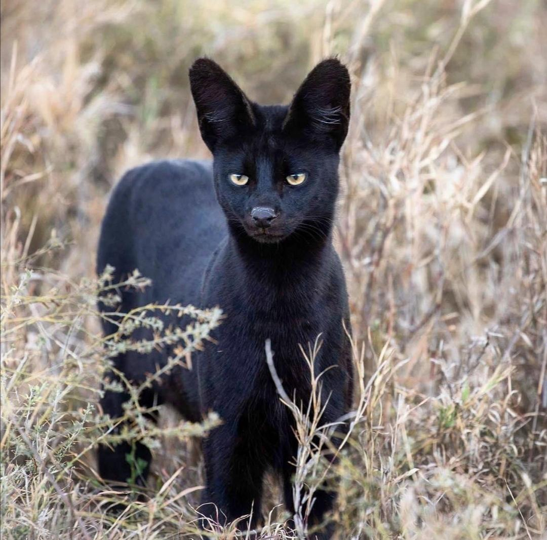 An extremely rare melanistic serval, captured by Katya Ignatiev
