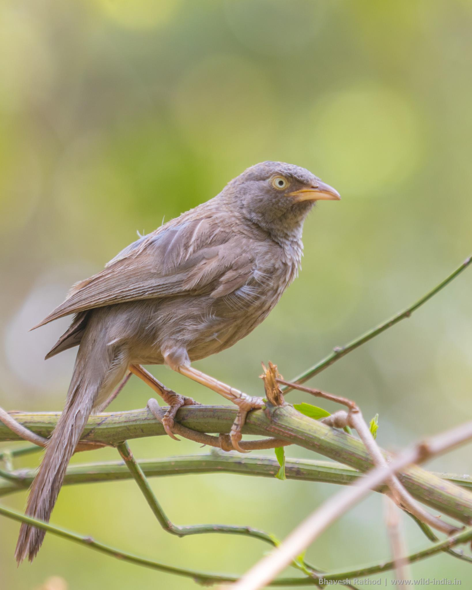 Jungle babbler is a noisy bird