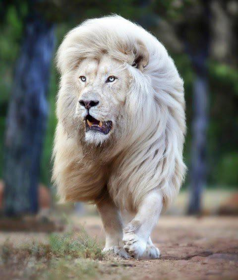 South African White Lion