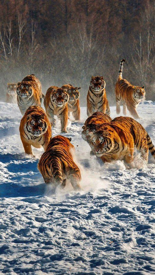 Siberian tigers playing in the snow