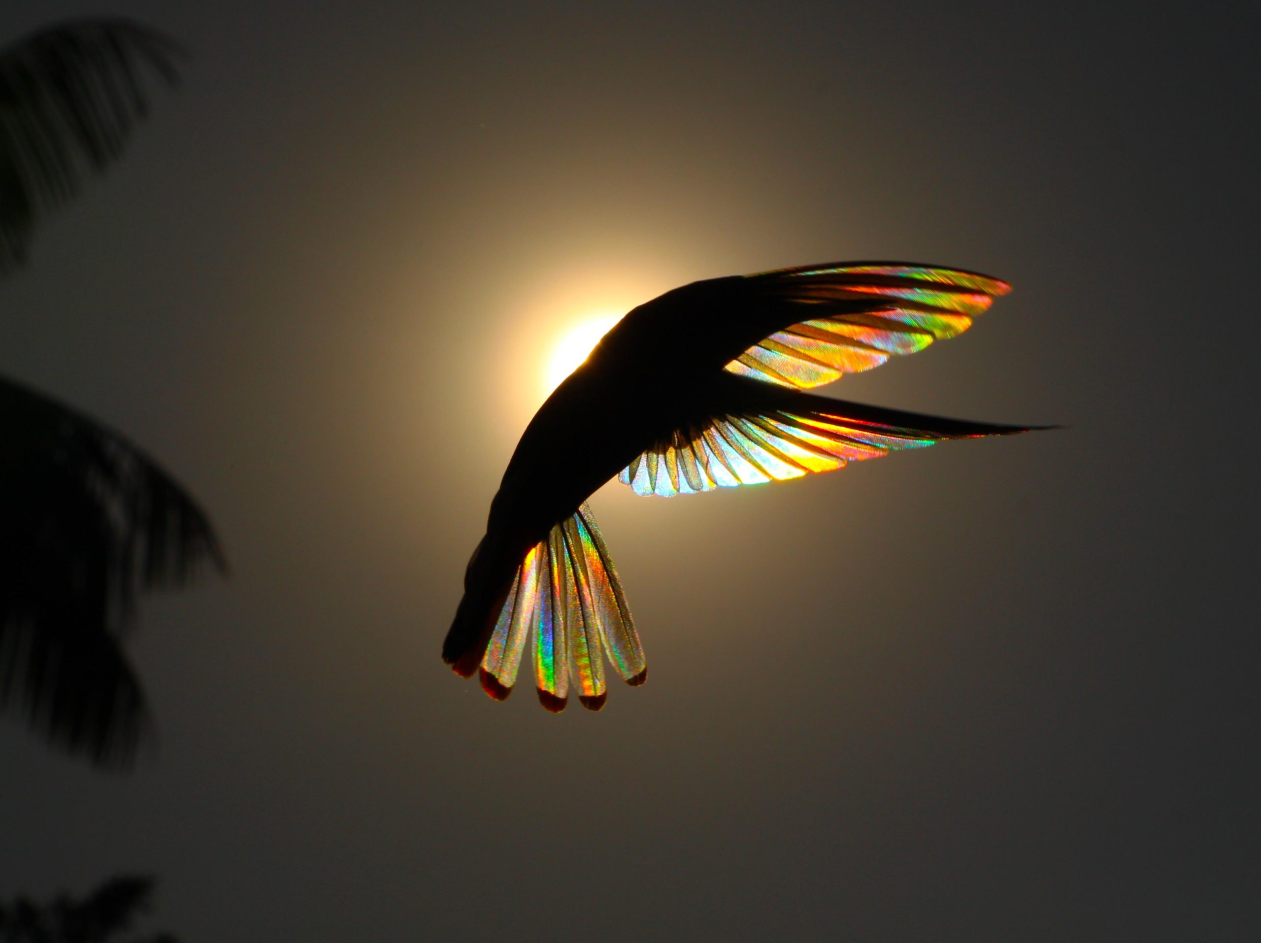Jacobin hummingbird hovers in front of the rising Sun