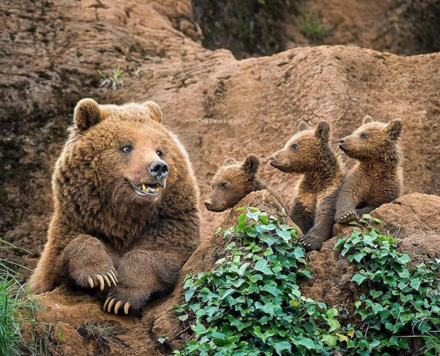 Mama bear and her three little cubs