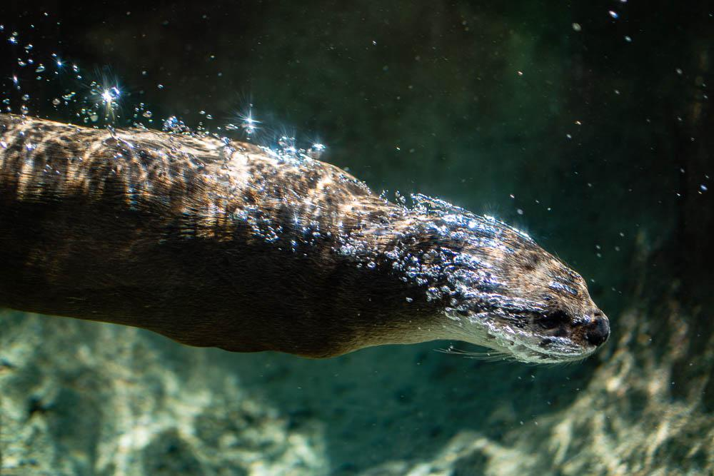 River otter at the Milwaukee zoo