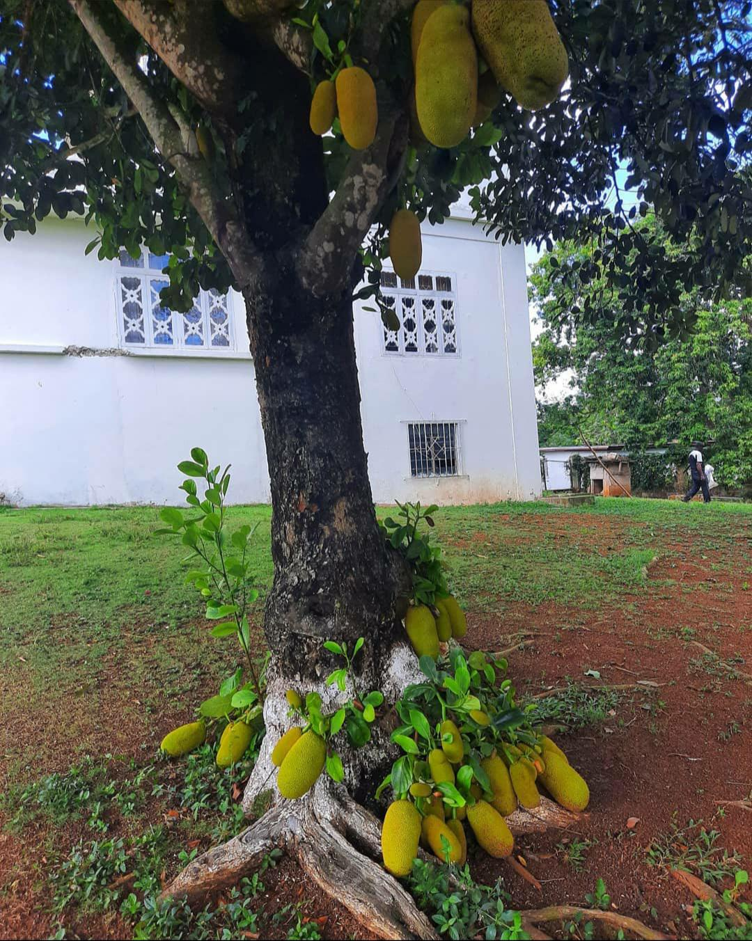 This Jackfruit tree is so fertile even the roots starts to bear fruit