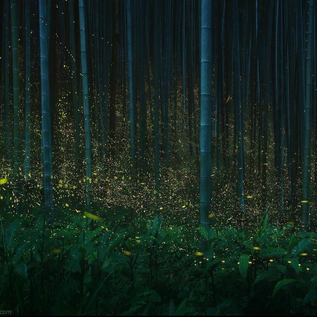 Fireflies in Japanese Forest